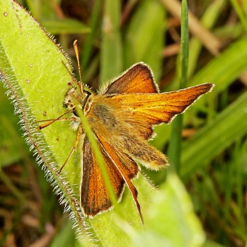 smallskipper_ledston_030718