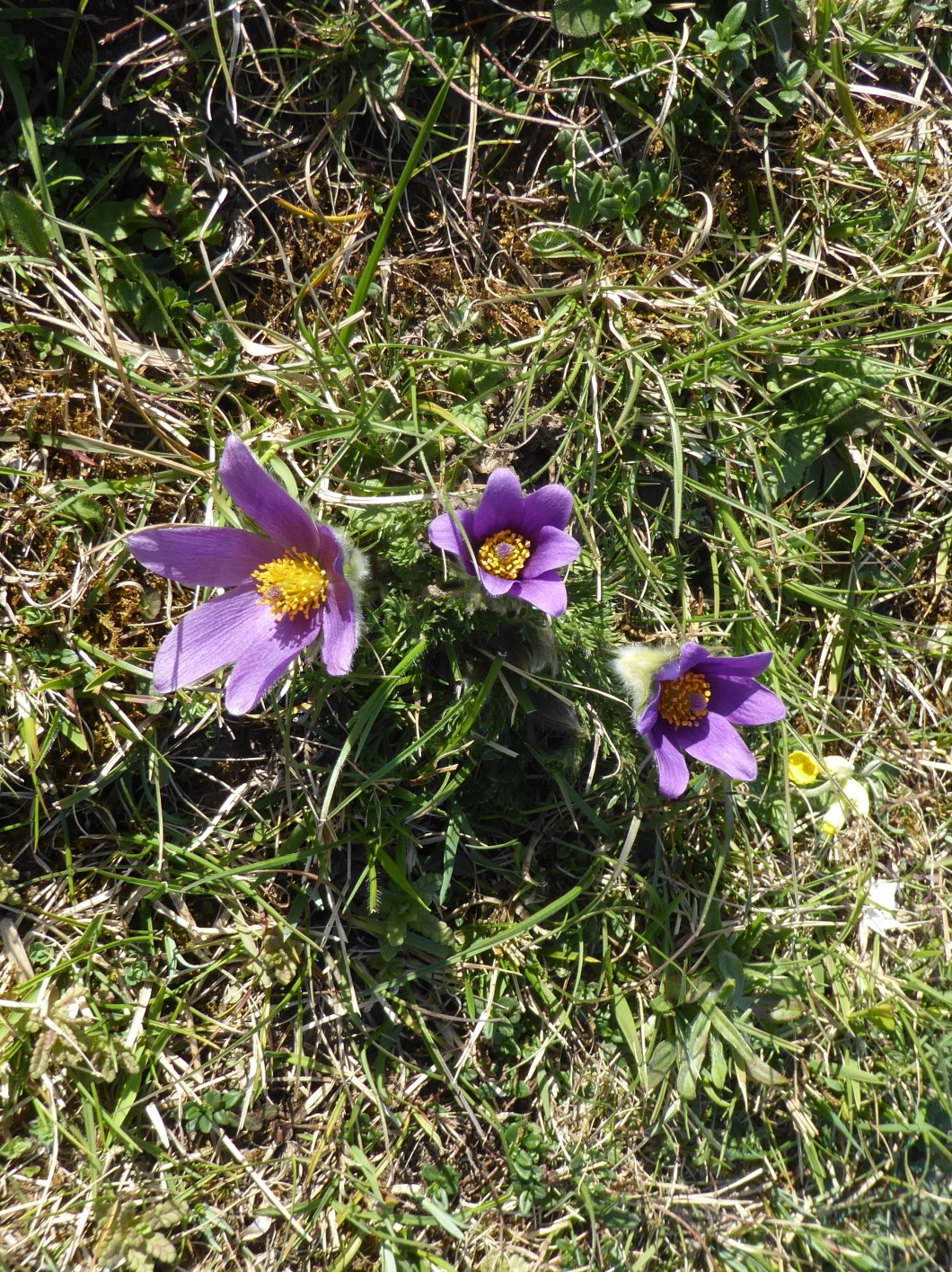 PasqueFlower_Ledsham_16Apr2020